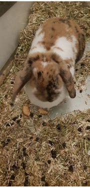 süßes Widdermädchen sucht kastriertes Kaninchenmännchen
