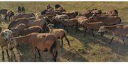Schafe Lamm Absetzer Rasse Barbados