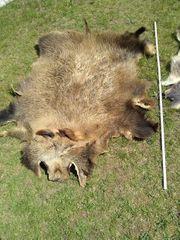 2 Wildschweinfelle