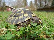 Schildkröten zu verkaufen Griechische Landschildkröten