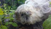 Texel Kastrat Meerschweinchen sowie Lunkarya