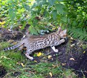 Bengalen Katzenkinder Katzen Kitten Kater