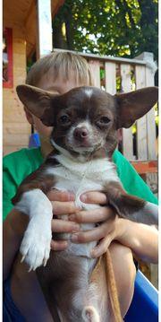 Vom Züchter mit Papieren Chihuahua