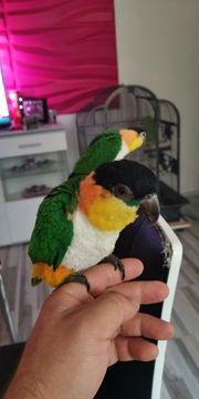 grünzügelpapageien handzahm papagei