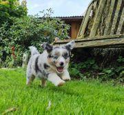 Mini Aussie Miniatur Australian Shepherd