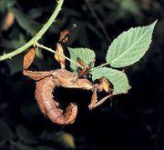 Australische Gespenstschrecken und andere Phasmiden
