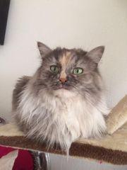 Sibirische Katze Alegra sucht ein