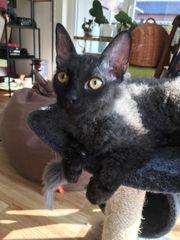 Sphinx- das schwarz-aschgraue Kätzchen