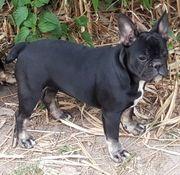 Französiche Bulldogen Welpen aufgeweckt und