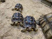 Afrikanische Spornschildkröten