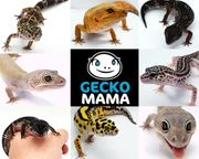 Schöne Leopardgecko Nachzuchten von 2021