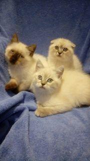 BKH Kitten Mini Kätzchen