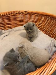 Katzen Babys KITTEN BKH