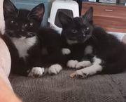 2 Katzenbabys Mädels Geschwister