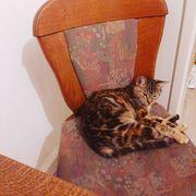 Bengalmix Katze