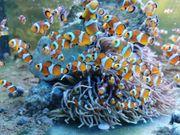 Clownfisch Amphiprion ocellaris orange Meerwasser