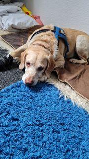 Labrador Golden Retriever Mischling Chiko