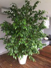 Ficus Benjamin - traumhaft schöne Zimmerpflanze