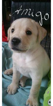 wunderschöne,reinrassige Labrador