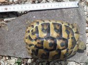 Griechische Landschildkröten semiadult adult Weibchen