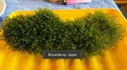Riccardia sp Japan ECHTE RARITÄT