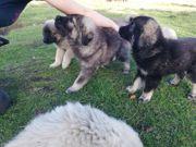 Sarplaninac Welpen Herdenschutzhund