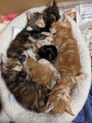 Wunderschöne reinrassige Maine Coon Kitten