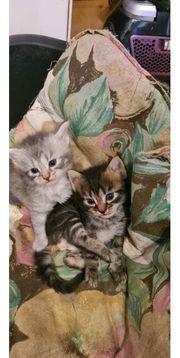 Sibirische Waldkatzen Kitten