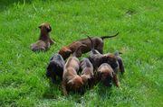 Dogge Labrador Rhodesian Mix Welpen
