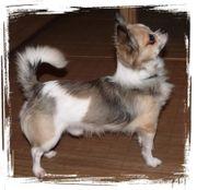 Chihuahua Deckrüde mit AT kein