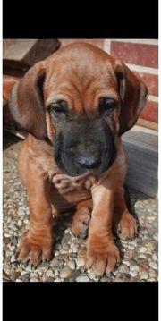 Cane Corso Bloodhound Boerboel Mischlinge