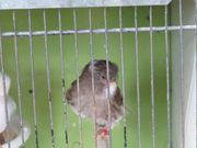 Norwich-Kanarienvögel