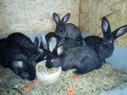 Kaninchen zu verkaufen 08 10