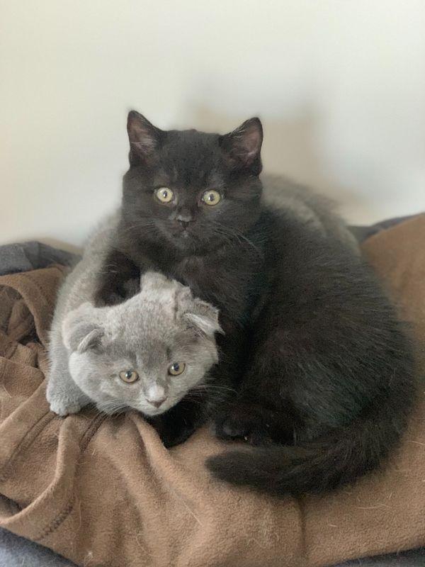 Liebevolle Scottisch Fold Kitten warten