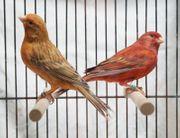 Farb-Kanarienvögel in rot achat