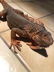 Grüner Leguan iguana iguana