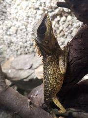 Acanthosaura capra pärchen abzugeben