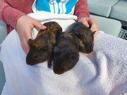 Junge Meerschweinchen Kastrate