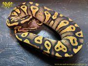 Königspython - Pastel Phantom Yellow Belly