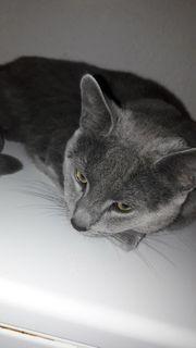 Katze Russich Blau in gute