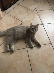 Bkh Kitten Wurfankündigung