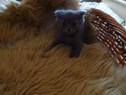 BKH Kitten suchen neues Zuhause