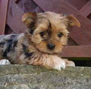 Yorkshire Terrier Welpen Rüden