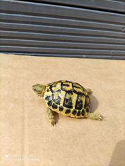 10x Griechische Landschildkröten THH Geburtsjahrgänge