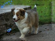 Aktive Border Collie Welpen
