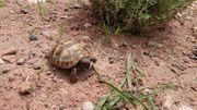 Griechische Landschildkröten THH Sizilien NZ