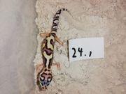 Leopardgeckos lat Eublepharis macularius 89EUR