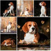 Erfahrener Beagle Deckrüde in tricolor