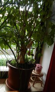 Schön gewachsener Ficus Benjamini ca