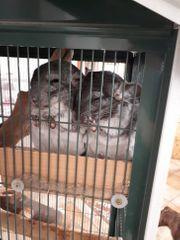 2 Chinchilla Männchen mit Käfig
